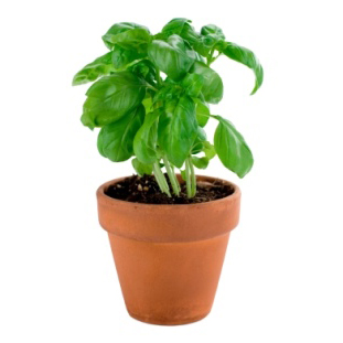 Potted fresh basil plant.  Isolated.
