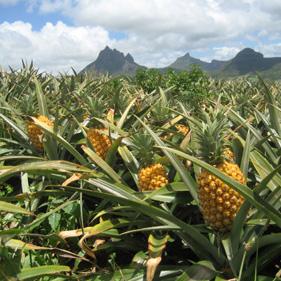 Ananas veld Cuba